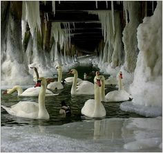 Ice Swans ―♡― In wilderness and harshness they survived;  and look even more beautiful and vibrant then they did before. ―♡―