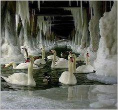 Ice swans ~ Loooooove!!!!