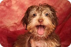 Pictures of Diva Havanese a Havanese for adoption in St. Louis, MO who needs a loving home.