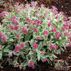 Pulmonaria 'Raspberry Ice' - Lungwort.  groundcover, great spring bloom, spotted foliage.  Sh to P-Sh US zone 3
