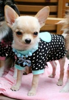 """I wear clothes, she calls them outfits?  #dogs #pets #Chihuahuas Facebook.com/sodoggonefunny"
