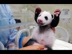 Baby Panda Meets Mom For First Time - YouTube