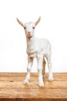 Daily Dose - January 9, 2015 - Good Morning Goat - Saanen Kid Goat 2016©Barbara O'Brien Photography