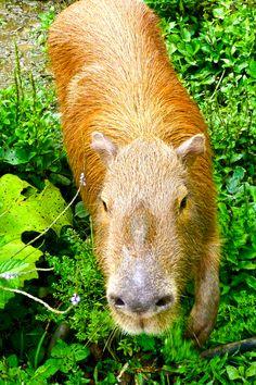 Kein Schwein: Das Wasserschwein, auch Capybara genannt, ist das größte lebende Nagetier. Es ist in ganz Südamerika in Urwäldern und Grassteppen verbreitet.