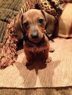 "Everybody meet ""Choco Latte"" aka Choco, CL, C. Leezy, ChocChoc, and Lattes'o'Choc my new puppy!!! Miniature #dachshund Cuteness #dachshundpuppy"