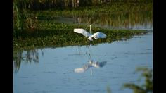 Flight of the White Egret: a collage of the avian landing in Bunker Pond, a wildlife sanctuary and stopover for migrating birds at Cape May Point State Park, right off the Atlantic Ocean at the tip of NJ.