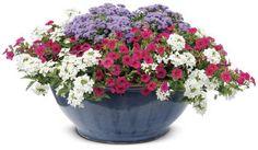 Revelry | Proven Winners | Part Sun - Sun | Verbena, Flossflower, Petunia