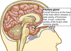Diagram showing the pituitary gland, which is located at the base of the brain just forward of the brain stem