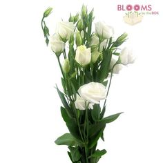 Wholesale Lisianthus White - Prairie Gentian, Texas bluebell, Tulip gentian, Bluebells, Lira de san pedro - Blooms by the Box