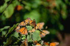 ¡Las Mariposas Monarca ya están en Michoacán! Visita sus santuarios y disfruta de este espectáculo natural.