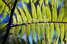 New Zealand Ponga Fern & Sky royalty-free stock photo