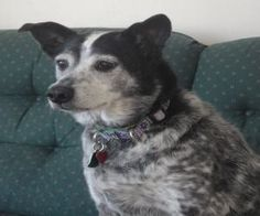 Emma is an adoptable Australian Cattle Dog (Blue Heeler) Dog in Winchendon, MA. Emma is an 8 year old blue heeler. She came from a home where she was neglected but she's now ready for a fresh start. T...
