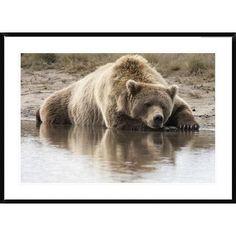 Global Gallery Grizzly Bear Sleeping on Shore, Katmai National Park, Alaska by Matthias Breiter Framed Photographic Print Size: