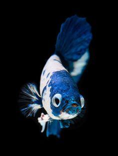 Fish Wallpaper, Animal Wallpaper, Fish Drawings, Animal Drawings, Koi Betta, Koi Carp Fish, Fisher, Fish Pose, Blackwork