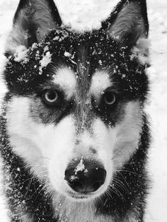 Wonderful All About The Siberian Husky Ideas. Prodigious All About The Siberian Husky Ideas. Beautiful Dog Breeds, Most Beautiful Dogs, Alaskan Husky, Alaskan Malamute, Beautiful Dog Pictures, Snow Dogs, Dog Travel, Funny Dog Pictures, Dog Life