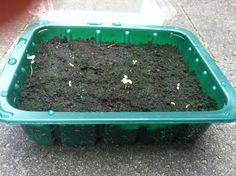 Nu beginnen de aardbeitjes iets te groeien :)