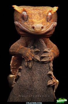 Listohvosty Madagascar gecko (satanic leaf tailed gecko)