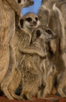 Meerkats  © Simon King