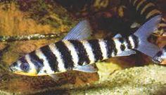 5 x leporinus affinis 5cm Live Tropical Fish