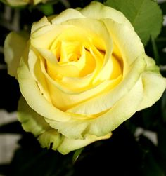 Beautiful yellow rose and a great post on words in English and Spanish. Read more.