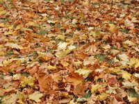 Free Golden Leaves of Autumn 2 Stock Photo Golden Leaves, Autumn, Stock Photos, Texture, Surface Finish, Fall