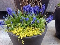 Blues of the Hyacinths and Pansies against the gold of the Lysimachia nummularia 'Aurea' (creeping jenny)