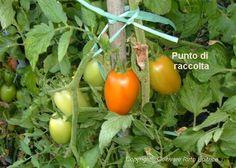Il momento migliore per la raccolta dei pomodori