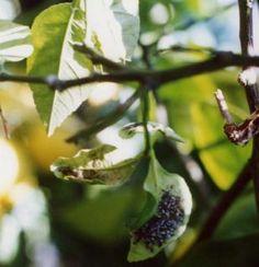 Chilocorus bipustulatus sistema d 39 informazione nazionale - Malattie limone fumaggine ...