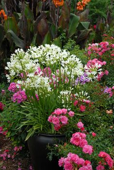 White African lily and pink roses in the summer garden.