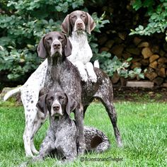 """All dogs are smart, of course, especially yours—but some dog breeds are likely smarter than others. When psychologist Stanley Coren wrote """"The Intelligence of Dogs"""" 25 years ago, he judged various breeds by their ability Gsp Puppies, Pointer Puppies, German Shorthaired Pointer, German Shepherd Puppies, Hunting Dogs, Animal Photography, Dog Love, Best Dogs, Dog Breeds"""