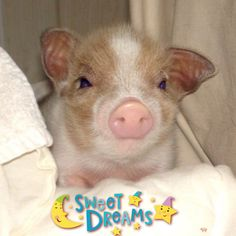 I need a piglet. omg this one is so cute Tiny Pigs, Pet Pigs, Small Pigs, Farm Animals, Cute Animals, Baby Piglets, Teacup Piglets, Paris 3, Cute Piggies