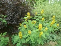 Wild senna in a mixed border garden