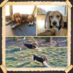 Fuller is a new rescue! He's been freed by the Beagle Freedom Project.