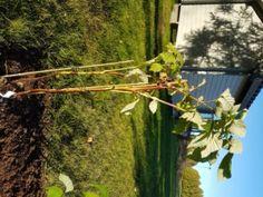 Hösthallon Rubus Delight