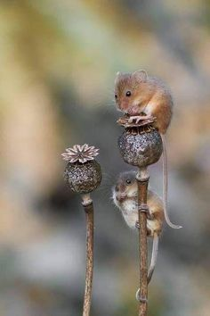 There are many different species of mice around the world. Depending on where they are located, some are omnivores and others are entirely herbivores. Nature Animals, Animals And Pets, Farm Animals, Beautiful Creatures, Animals Beautiful, Cute Baby Animals, Funny Animals, Maus Illustration, Cute Mouse