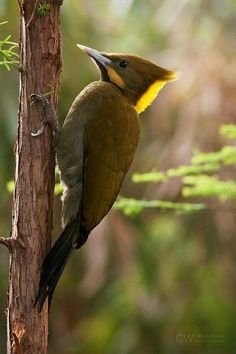 The greater yellownape (Chrysophlegma flavinucha) is a species of bird in the Picidae family.