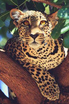 A leopard in a tree leopard cute tree