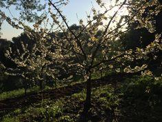 Evening Cherry Bloss