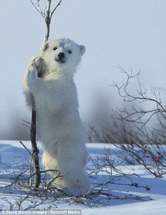 I wish I were the tree getting a polar bear hug....