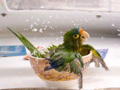 Happy parrot taking a bath