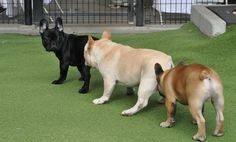 Frenchie color spectrum #frenchbulldog #buhi