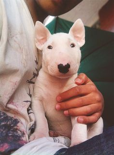 Bull Terrier: Bull Terrier comes in two sizes standard and miniature.Bull terrier are mostly known for their unique face shapes.Bull terrier are smart dogs that are good at learning new tricks and are also good at getting along with children. Chien Bull Terrier, Mini Bull Terriers, English Bull Terriers, Pitbull Terrier, Terrier Dogs, Bull Terrier Funny, Staffordshire Terriers, Boston Terriers, Miniature English Bull Terrier