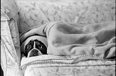 Boston terrier under blanket-they totally do this!