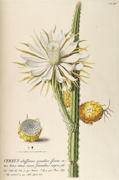 Botanical illustration by Biodiversity Heritage Library