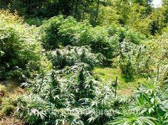 OUTDOOR GROW TIP Camouflaging Your Outdoor Marijuana Garden