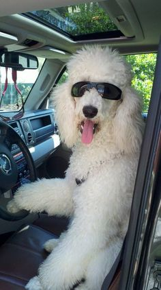 Hey! Get in! This made me laugh. What a cutie! #poodle #DrivingWithDogs #VictoryAutoMN http://victoryautoservice.com/