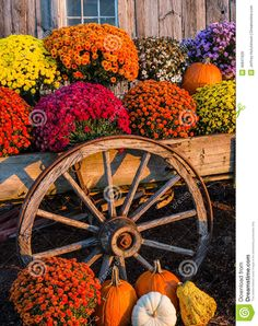 Photo about Fall scene with colorful mums and pumpkins in old wagon against a barn backdrop. Avas Flowers, Fall Flowers, Halloween Flowers, Fall Halloween, Thanksgiving Flowers, Happy Thanksgiving, Thanksgiving Pictures, Happy Fall, Mums In Pumpkins