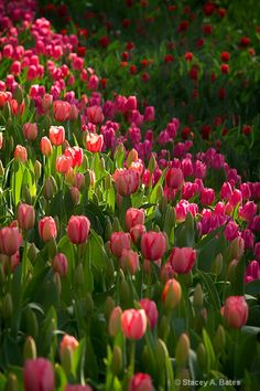 Tulips / signs of spring