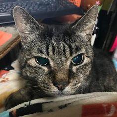 シマ君寝ようか? #cat #cat #pet #pets #neko #catstagram  #nekostagram #catlover #instacat #ilovecat #ネコ #猫 #ねこ#ねこ部 #ネコ部 #猫部 #愛猫 #にゃんすたぐらむ #ねこすたぐらむ #猫バカ#shima #おやすみ