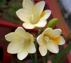 Frezya Çiçeği Bakımı